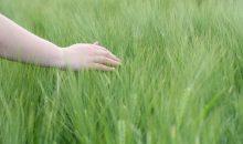Das Herbizid will die BASF zunächst in den USA, danach auch in Lateinamerika anbieten. (Bild: Jof – Fotolia)