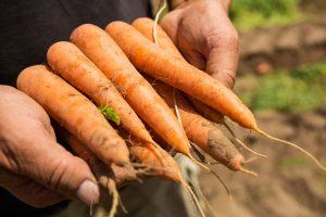 Die Noch-Bayer-Tochter Nunhems bietet Saatgut für etwa 25 Gemüsekulturen. (Bild: BASF)