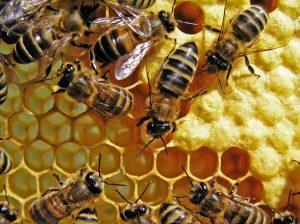 Die umstrittenen Nikotinoide können Bienen schaden, ihr Einsatz ist deshalb in der EU und nun auch in Kanada eingeschränkt. (Bild: The physicist – Fotolia)