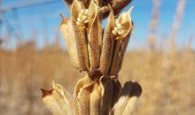 Zu den Saatgut-Produkten gehört unter anderem Sesam mit besonders hohem Ölgehalt. (Bild: Equinom)
