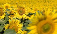 Der Konzern wird vor allem in den Bereichen Pflanzenschutz, Saatgut und Düngemittel aktiv sein. (Bilder: Syngenta)